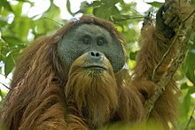 A new species of orangutan is identified in Indonesia, becoming the third known species of orangutan as well as the first great ape to be described for almost a century.