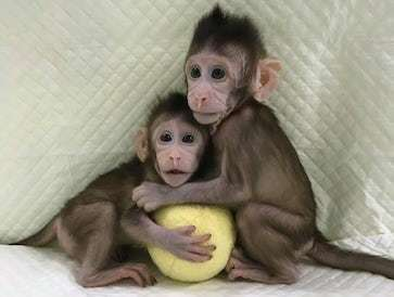 Scientists in China report in the journal Cell the creation of the first monkey clones using somatic cell nuclear transfer, named Zhong Zhong and Hua Hua.